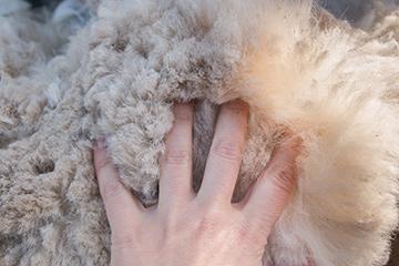Alpaca_Wool